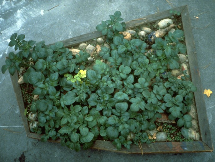 I Yam What I Yam by Ken Rinaldo after growing for 1 month outside my studio at San Francisco State University, California 1988