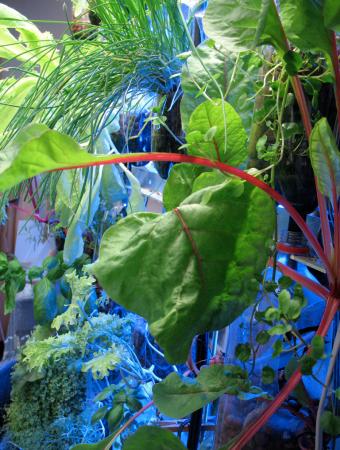 aquaponic kale